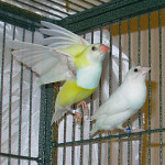 Why Do Lovebirds, Canaries and Others Abandon Nests or Destroy Eggs?