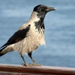 Hooded Crows as Pets: Keeping the World's Most Intelligent Bird
