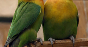 Lovebird Breeding Problems: Cautions for Small Parrot Breeders