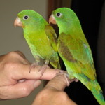 "The Best First Bird: My Choice for ""Perfect Pet Parrot"""
