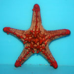 Red Knobbed Starfish (Protoreaster lincki)