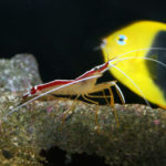 Skunk Cleaner Shrimp (Lysmata amboinensis)