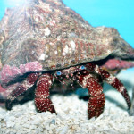 The White-speckled Hermit Crab. Cute, but NOT an algae eater!