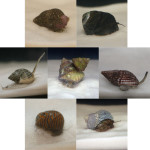 Some of the most popular saltwater clean-up crew snails