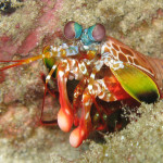 The Mantis Shrimp: Deadly Punch Provides Inspiration for Science