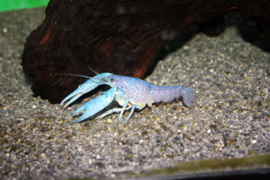 Even aquarium species like this Electric Blue Crayfish are affected by and restricted under Pennsylvania's new regulations.