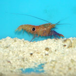 Bullseye Pistol Shrimp (Alpheus soror)