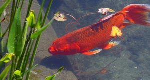 Goldfish as Bait – Why They Are Illegal and How They Affect the Ecosystem