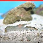 Green Pistol Shrimp (Alpheus euphrosyne)