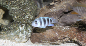 Our Newest Aquarium Display:  An African Cichlid Utopia Tank!