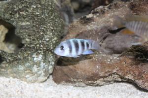 Cyphotilapia gibberosa or Blue Mpimbwe cichlid