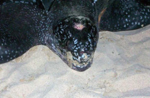 Leatherback-turtle-on-St-Thomas-picture-6