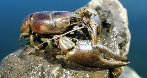 Crayfish Ban – New Regulations Halt Sale and Transport in Pennsylvania