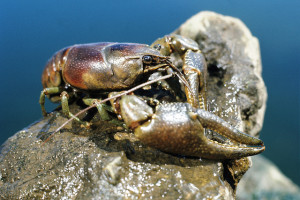 The Rusty Crayfish, the invader that started it all (Photo from the Wisconsin Department of Natural Resources, via flickr)