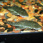Spotted Rubbernose Pleco (Chaetostoma sp.)