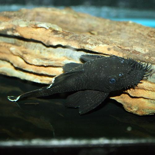 best plecos algae eaters for small freshwater aquariums