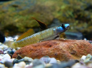 Male Stiphodon percnopterygionus. Photo from SeriouslyFishy.com, © Leo Chan