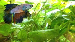 Acceptable Plants For Bettas Common Aquarium Questions