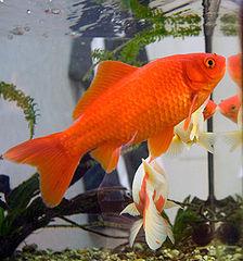 brightgoldfish