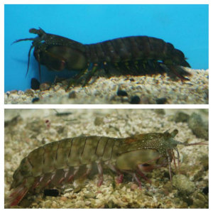 Chiragra Mantis Shrimp: male (top) and female (bottom)