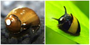 Freshwater Nerite Snails (Neritina sp.)