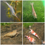 Several freshwater shrimp (Caridina sp.)