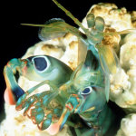 Mantis Shrimp:  Popular Varieties Beyond The Peacock Mantis