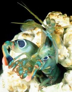 Gonodactylus smithii Image © 2005 Roy Caldwell