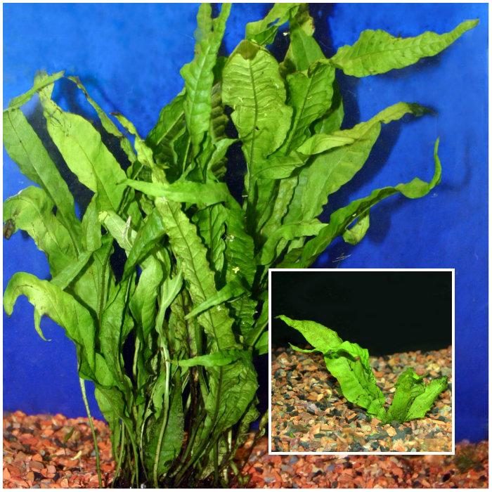 Top 10 aquarium plants for beginners for Best aquatic plants