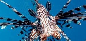 lionfish-invasion