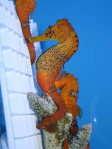 seahorse_orange
