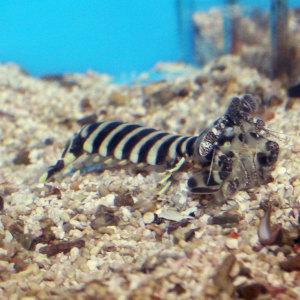 Zebra Mantis Shrimp, Lysiosquilla maculata