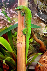 Madagascariensis Day Gecko