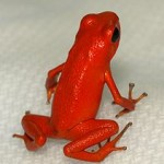 Frog Diets: Supplement Raises Poison Frog Egg Output & Tadpole Survival