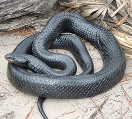 The Indigo Snake's Less Expensive-Relative: Blacktail Cribo Care and Natural History