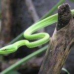 The USA's Only Native Rear-Fanged Vine Snake: Care and Natural History