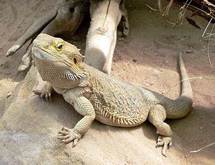 Leopard Gecko Or Bearded Dragon The Better Pet