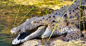 Nile Crocodile Found in Florida: Is World's Largest Crocodile a Resident?