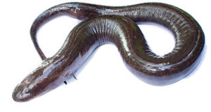 The Two Toed Amphiuma: a Giant Salamander that Bites Like a Watersnake!