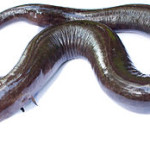 Amphiuma Care: Keeping one of the World's Largest Amphibians