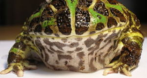 African Bullfrog or Pac Man Horned Frog:  Choosing the Best Frog Pet