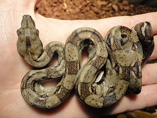 Rosy Boa Or Colombian Red Tailed Boa Choosing The Best Snake Pet