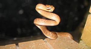 Guam Brown Tree Snake Eradication: Bad News for People & Wildlife