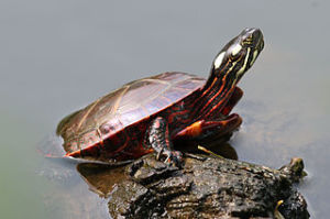 320px-Eastern_Painted_Turtle_(Chrysemys_picta_picta)