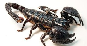 Emperor Scorpion Care: Five Things New Scorpion Owners Should Know