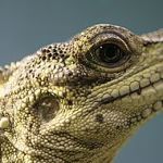 Sailfin Dragon Care and Conservation: a Zookeeper's Notes