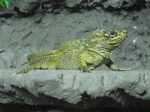 Hydrosaurus_pustulatus_Tropicario