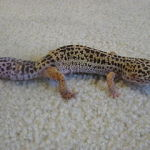 The 5 Best Reptiles and Amphibians to Choose as Holiday Gifts