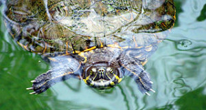 Turtles as Pets:  New Species to Try in 2014