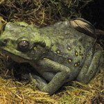 Amphibians as Pets: Care of Common and Unusual Types of Toads